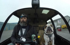 Bulldog Is The Best Co-Pilot Ever