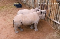 Baby Rhinos Crying For More Milk Will Melt Your Heart