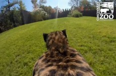 GoPro View Of Cheetah Run