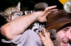 Nature Expert Plays With Wild Ocelot Cat