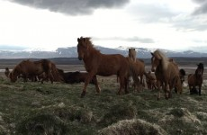 Traveler Stumbles Upon Herd Of Wild Icelandic Horses