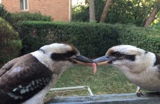 Two Kookaburras Have A Tug Of War Over A Piece Of Meat