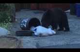 This Video Proves That Bears Are Evolving