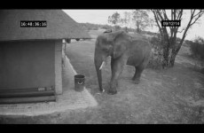 elephant-caught-on-cctv-cleaning-up-the-trash