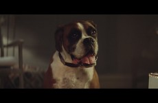 buster-the-boxer