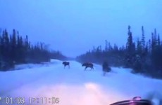 When Your Snow Driving Skills Save Two Moose