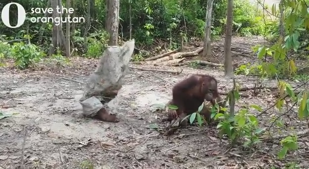 Orangutan Tries To Get His Friend's Attention Dressed As A Ghost
