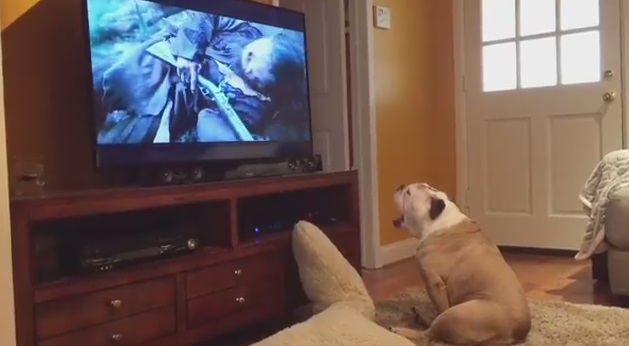 Bulldog Tries To Protect Leonardo DiCaprio From Bear Attack!