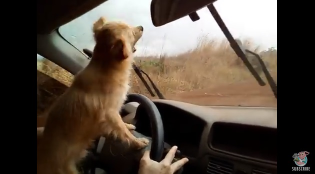 Little Dog Tries to Bite the Windshield Wipers