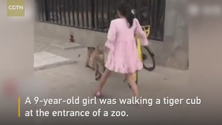 This 9 Year Old Chinese Girl Went Out For a Walk With Her Pet Tiger