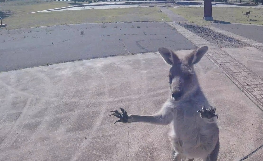 Curious Kangaroo Charges Paraglider