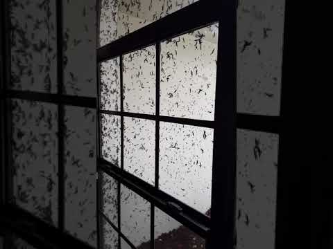 Lovebugs Swarm and Cover House