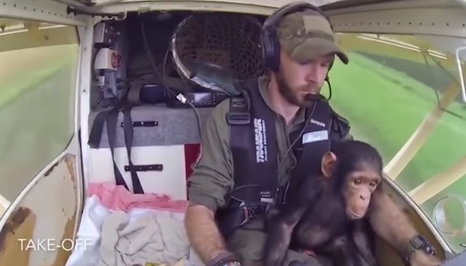 Baby Chimpanzee Gets Rescued And Taken Away On A Plane!